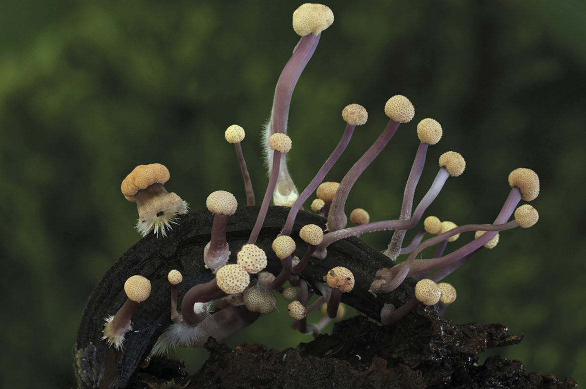 cortinarius-allutus-mushrooms-growing-in-lithuanian-forests