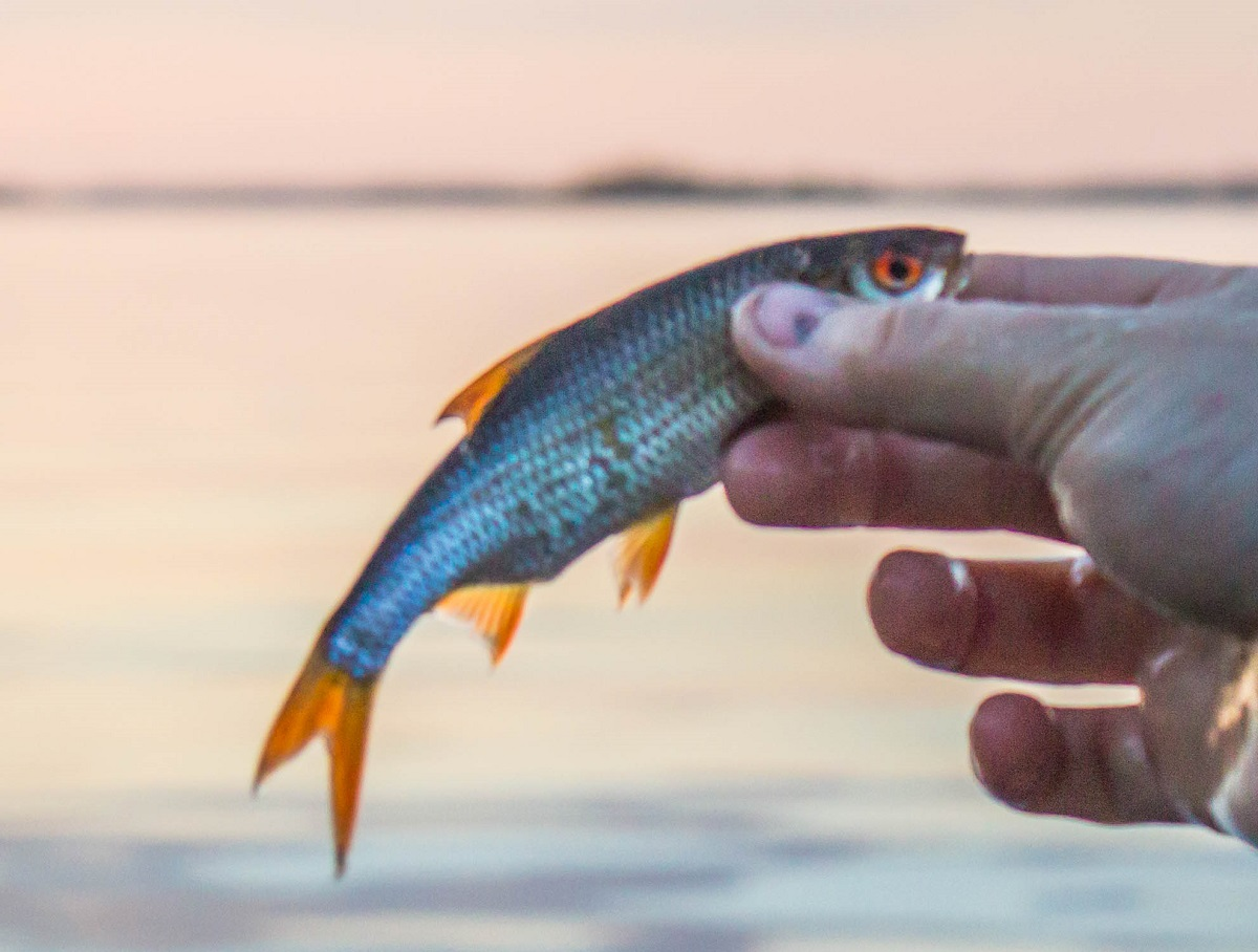 very-small-fish-roach-in-the-hand-of-angler